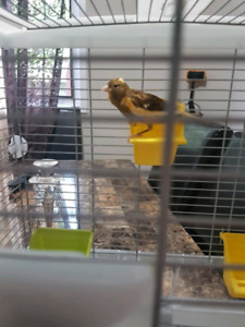 Canary bird and cage