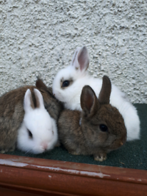 Baby Rabbits - SOLD
