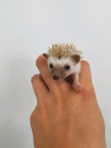 FRIENDLY baby Hedghogs !! open too Trade