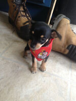 Tri coloured Female Chihuahua puppy in need of good home