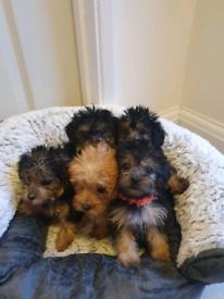 Yorkipoo puppy's