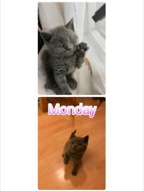 Only 2 left! Pure pedigree British shorthair Kittens