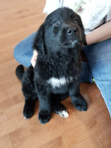Black golden-lab mix Puppy - Ready for new forever home now