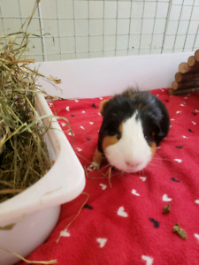 Two free guinea pigs