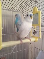 2 budgies with cage & accessories