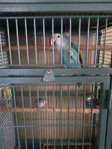 Male and Female Lovebirds and Huge Cage Kitchener / Waterloo Kitchener Area image 3