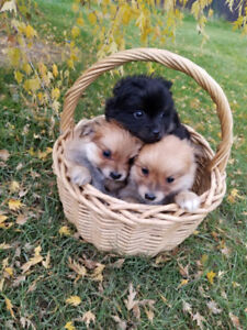 3 pomeranian puppies for sale