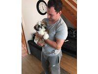 4 Month old Tea cup Shih Zhu For Sale