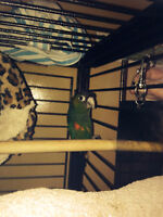 Parrot red wing conure