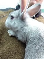 Rabbit - NZD Flemish cross
