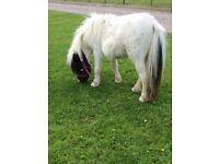 Miniature Shetland filly for sale
