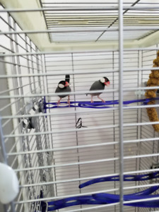 2 Female Java Sparrow Finches - need to go ASAP