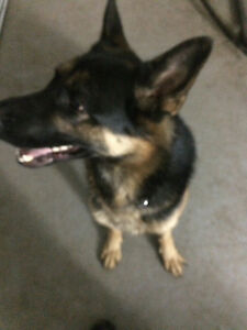 Berger allemand chien de garde