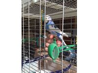 Budgie in need of a new home