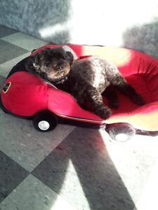 DOGSITTING SERVICE IN OUR HOME for small dog breeds(3 to 15pds.)