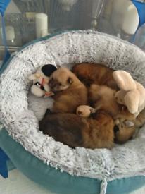 Light brown Pomeranian puppies
