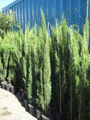 3x Mittelmeerzypresse 150 cm Säulen Toskana - Zypressen Zypresse Cupressus