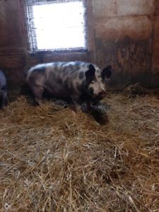 Couple de cochon