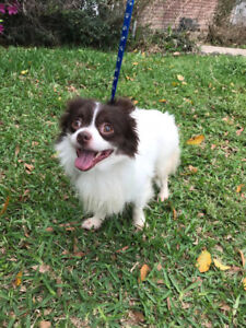 Gucci pom and chi cross 4 yrs old, Texas Rescue for adoption