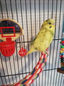Male budgie