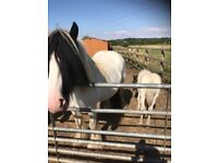 Cob mare and foal for sale