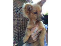 URGENT!!!Beautiful baby boy pomeranian puppy