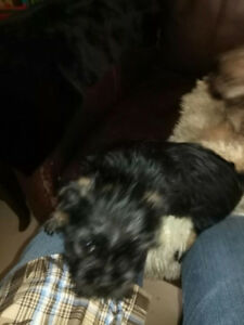 Beautiful and Cuddly Yorkie Brussels Griffon X Puppies