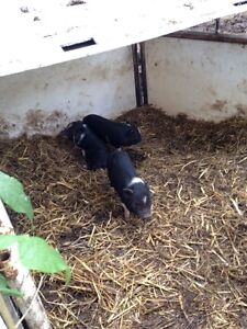 Potbelly Piglets for Sale