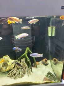 Cichlids fish
