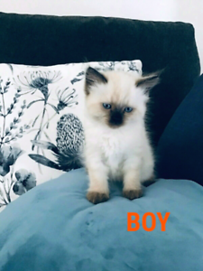 😻 Beautiful Purebred Ragdoll kittens 😻 ONLY 3 LEFT