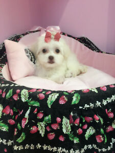 Very tiny Maltese puppy for sale-one female