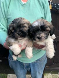 Lapso x bichon frise pups for sale