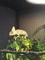 Chameleon for sale :) looking for responsible owner