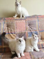 ***  GORGEOUS Ragdoll kittens for sale  ***