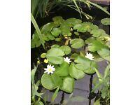 Well established pond lily