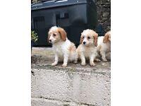 Cavapoo puppy's