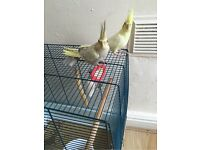 Birds for sale with cage an toys