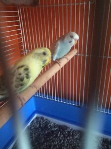 Fancy baby budgie birds only 6-7 months old.