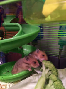 Free Baby Syrian Hamsters To a Good Home