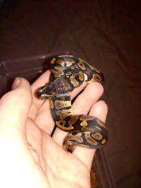 Royal Python Hatchling