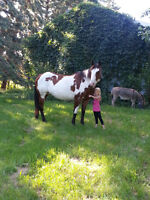 SOLD - APHA BAY OVERO MARE AND AQHA CHESTNUT MARE
