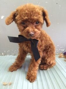 Poodle | Kijiji: Free Classifieds in Greater Montréal