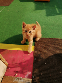 2 beautiful Ginger Tom kittens