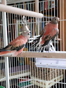 Pair of Rosy Bourkes