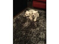 Kc reg west highland terrier puppies