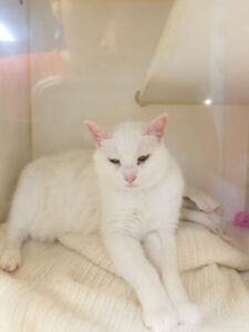 WHITE CAT NEEDS HOME VERY LOVING & FRIENDLY
