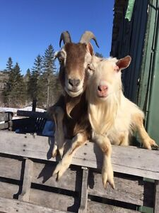 3 male goats for sale