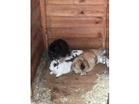 3 rabbits free to good home
