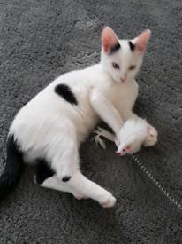 Beautiful male kitten