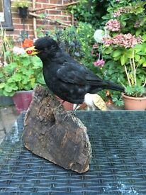 Taxidermy blackbird